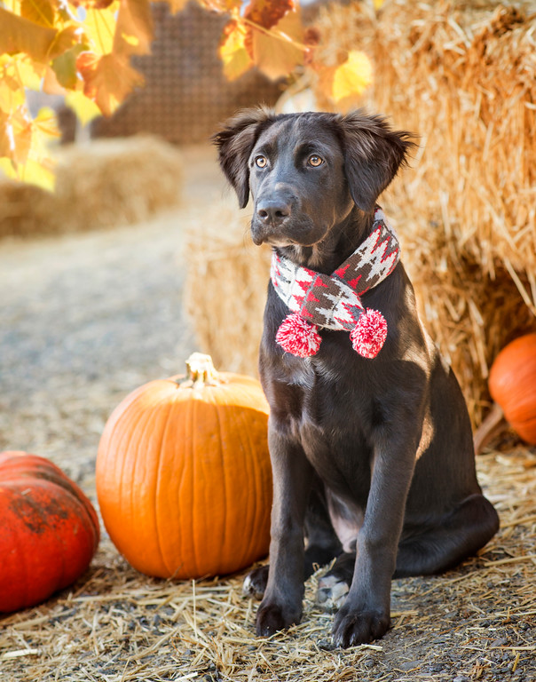 dog sitting next to pumpkins